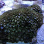 Green Zoanthus sp