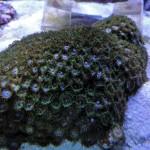 Green Zoanthus sp.