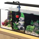 The ideal home for  your Siamese Fighting Fish, Betta Splendens