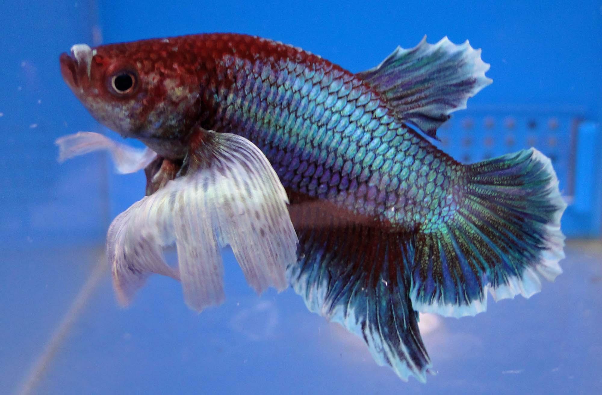 Betta Fish Care BreedingFeedingNamesDiseases Etc