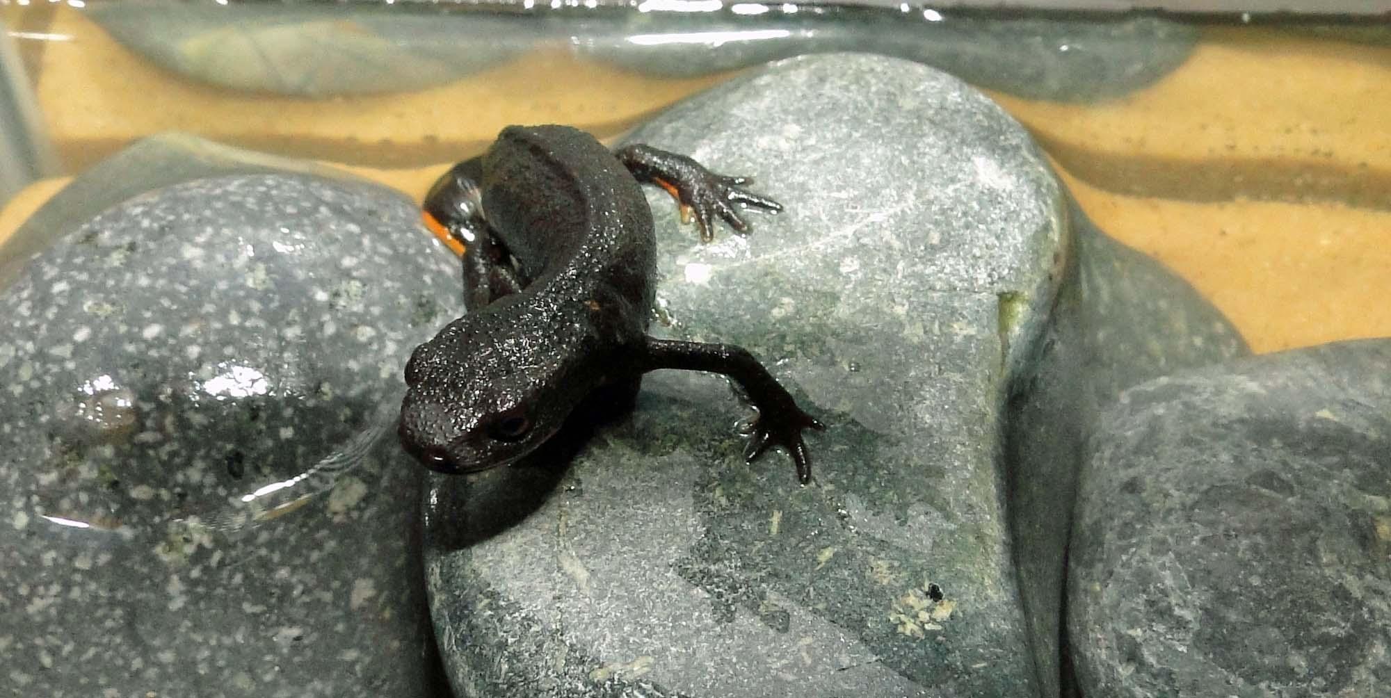 fire belly newt 3 Nemos World